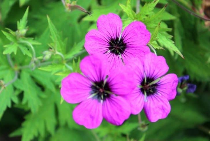 patricia-geranium