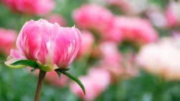 peony-in-full-bloom