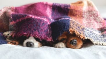 dogs-under-blanket