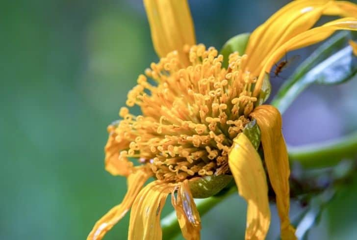 dying-mexican-sunflower