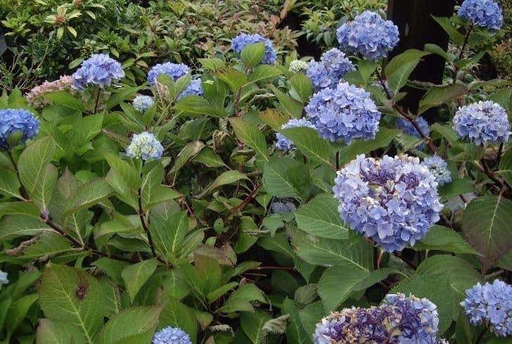Blue Enchantress Hydrangea