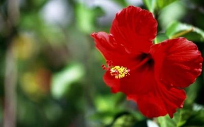 Do Deer Eat Hibiscus? (And How to Keep Deer From Eating Hibiscus?)