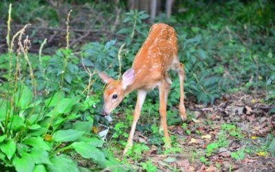 Do Deer Eat Hostas? (And How To Keep Them Away?)