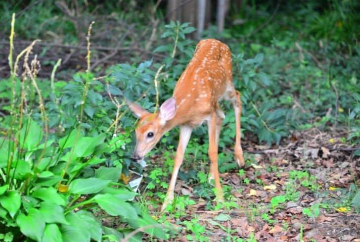 deer-eating-hostas