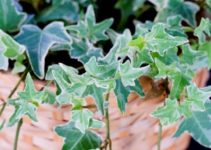 Can You Compost Ivy? (And Does an Ivy Plant Needs Sunlight?)