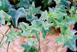 ivy-plant